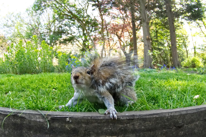 Skeptisches Eichhörnchen im Hyde Park
