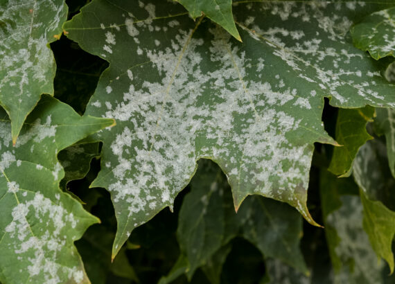 Mildew on a maple leaf - How to fight mildew