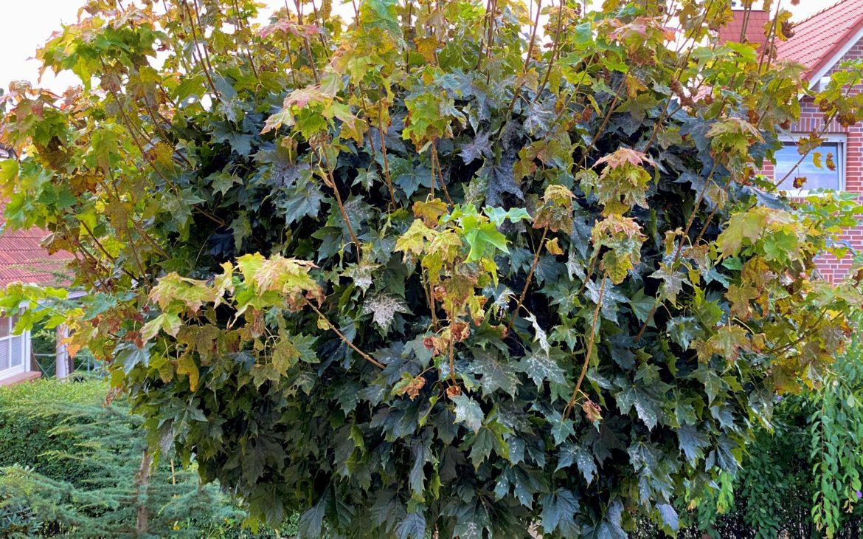 Nach nur 5 Tagen sieht man, dass der Mehltau verschwindet. Merklich weniger Blätter sind befallen.