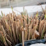 After about a week, we see new sprouting blades of zebra grass.