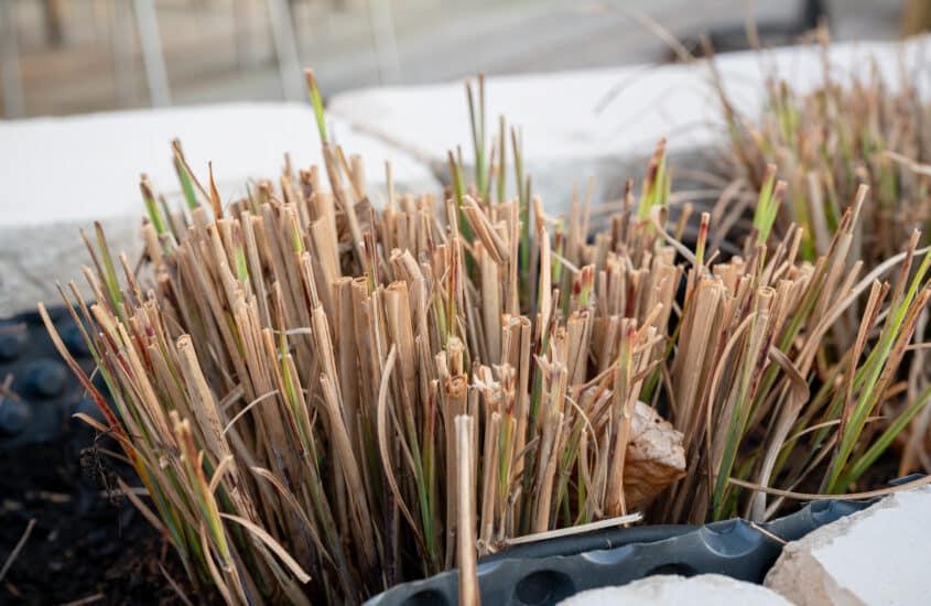 When should you cut back zebra grass (Miscanthus sinensis)?