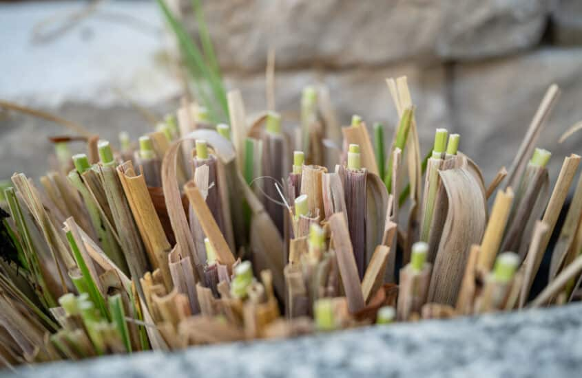 When should you cut back China reed grass (Miscanthus sinensis)?