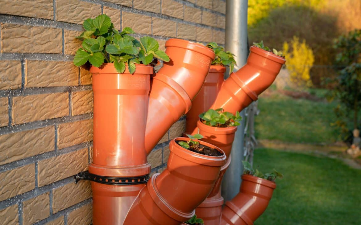 Facing south with hourly shade, strawberries thrive in our DIY vertical strawberry garden.