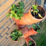 Vertical strawberry garden from tubes