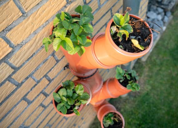 Vertical strawberry garden from tubes