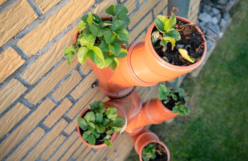 Vertical strawberry garden in tubes – an urban DIY project